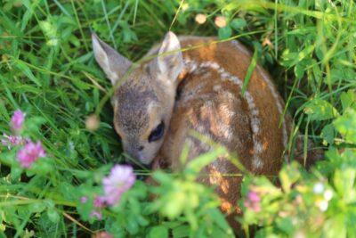 Il cerbiatto, magia della foresta per tornare bambini