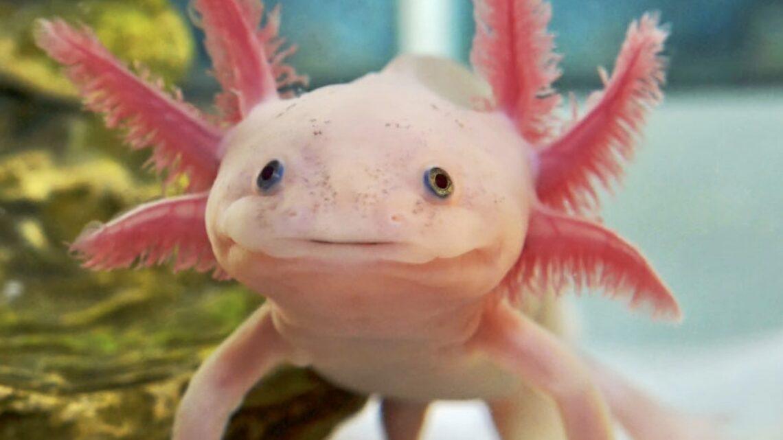 La mitica salamandra, anfibio con i superpoteri, per gli psicologi è un simbolo di resilienza